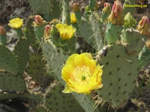 prickly_pear_cactus_flower
